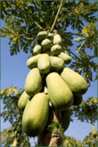 papaye3
