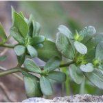 Les plantes créoles gustatives : le pourpier