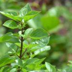 Plantes créoles & stress