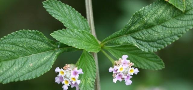Les plantes cr oles gustatives la bris e for Tous les plantes