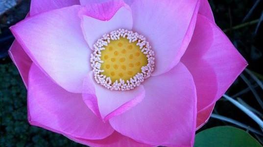 Le lotus, un allié de notre santé ?