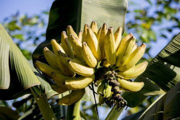 La banane by Alice