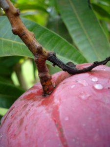 mangue 5
