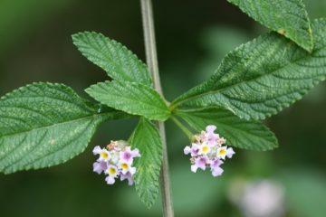 Les plantes créoles gustatives : la brisée