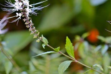 Plantes créoles de drainage – 1ère partie