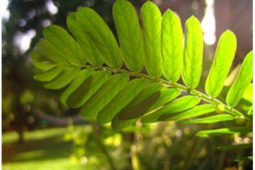 Plantes créoles, goutte et acide urique – 1ère partie