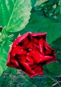 coquelicot rouge - Dr Longuefosse