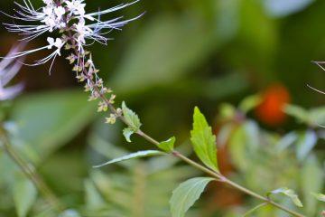 Plantes créoles et troubles métaboliques : le surpoids