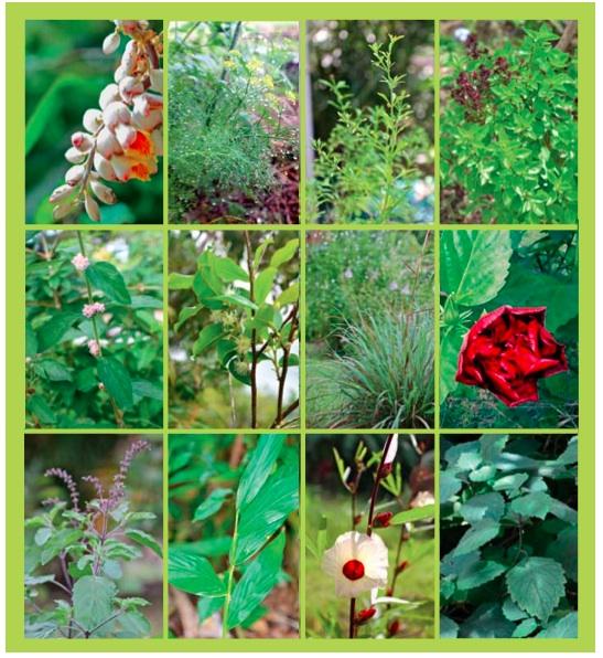plantes créoles - Dr JJ Longuefosse
