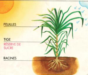 plante betterave