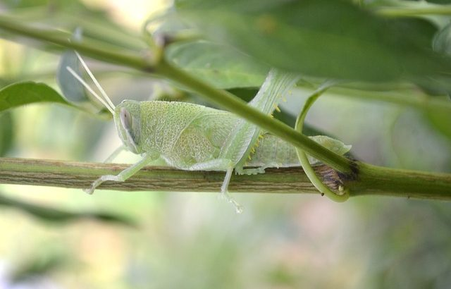 cricket guyane