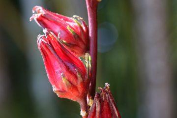 La groseille pays – La santé par les plantes