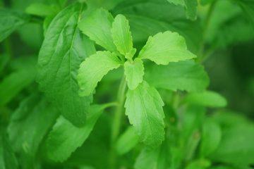 Le stevia, la plante sucrée – La santé par les plantes