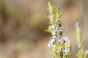 Une plante miracle : le romarin