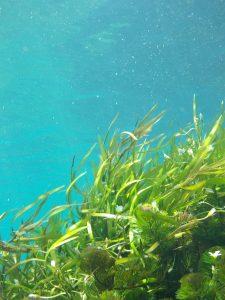 algues vertes marines