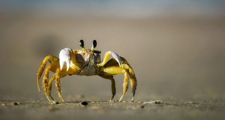 crabes matoutou