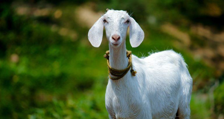 Et vous, vous êtes plutôt brique de chèvre ou plutôt palet de chèvre ?